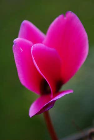 Close up photo of a deep fuchsia colored cyclamen.