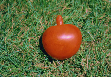 deformity: A tomato really special, strange and unusual