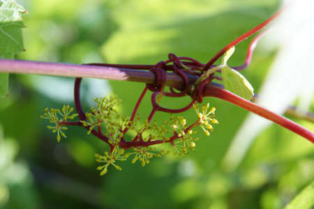 Branches of grape vines with bud of grape berries.