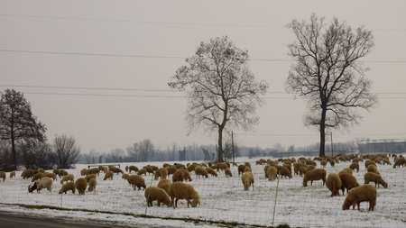 Sheep and lambs grazing in a meadow covered with snow  photo