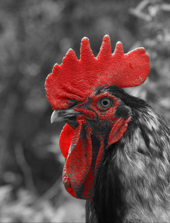 The Rooster Model Stock Photo - 16437209