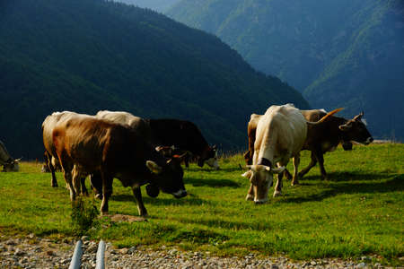 Breeding of cattle on mountain pastures  Stock Photo - 16521191