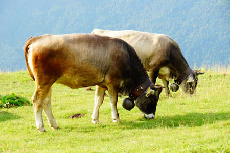 Breeding of cattle on mountain pastures