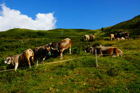 Breeding of cattle on mountain pastures  Stock Photo - 16521190