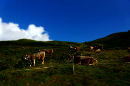 Breeding of cattle on mountain pastures  photo