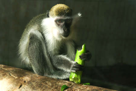 angry vegetable: lunch time for monkey macaque eating cucumber Stock Photo