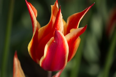 Beautiful red tulip. Symbol of Turkey 免版税图像