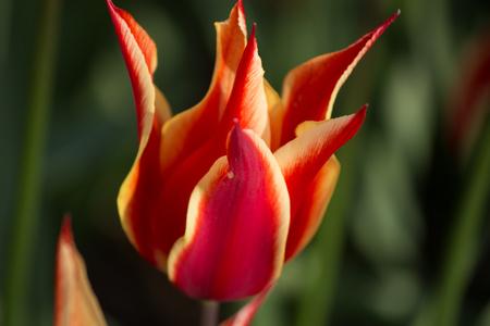 Mooie rode tulp. Symbool van Turkije Stockfoto