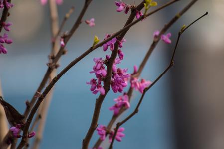 Elegant gevormde takken met enkele kleine roze bloemen op een blauwe achtergrond wazig