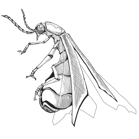 firefly: Illustration of Firefly. Isolated on white background.