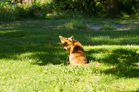 A fox sitting in the shade and watched