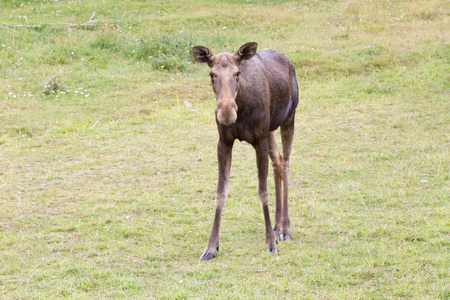 A young moose looks at you curiously