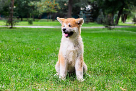 A small puppy of a thoroughbred Japanese dog Akita inu in the park on the green grass