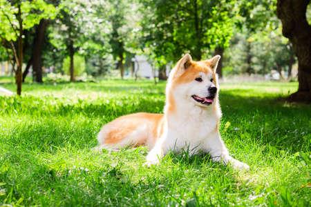 Beautiful male Japanese dog Akita inu, lying in nature Imagens