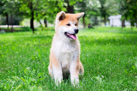 A small puppy of a thoroughbred Japanese dog Akita inu in the park on the green grass Imagens