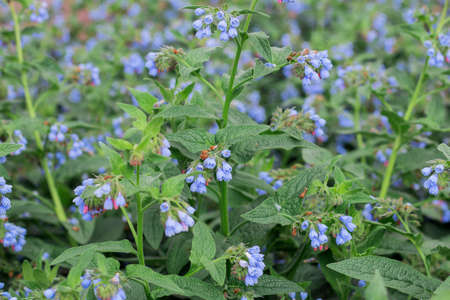 Beautiful little blue flowers of the comfrey, Symphytum officinale, is used in organic medicine