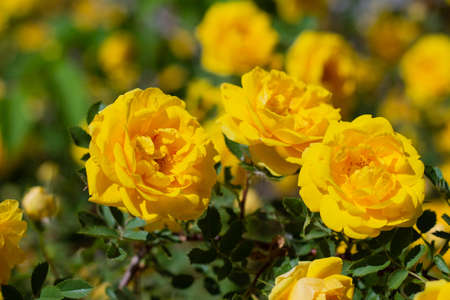 Yellow rosehip Bush in bloom on a bright sunny day Stock fotó