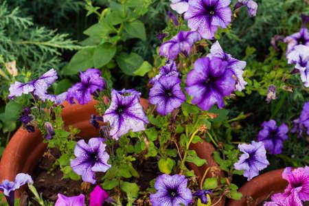 colorful blooming Petunia flowers (Petunia hybrida)