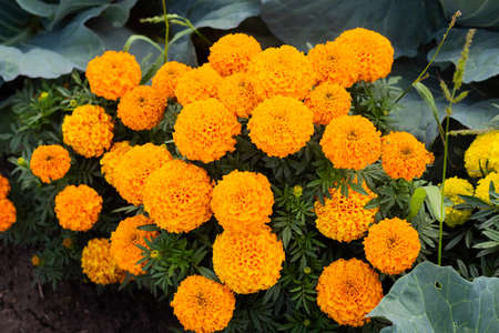 Close-up of beautiful marigold blossom, french marigold's flower, Tagetes patula. Tagetes garden flower