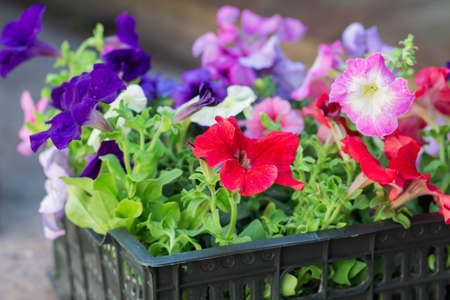 Beautiful multicolored Petunia flowers ready to be planted in the garden