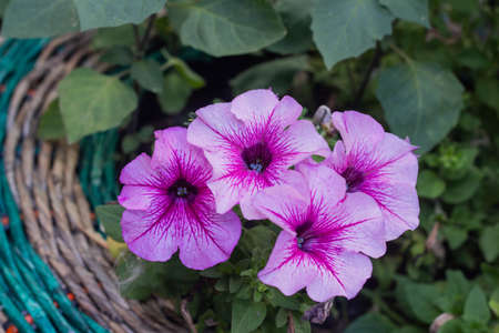 Beautiful pink petunias close up in the garden