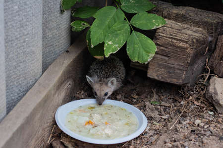 A small hedgehog has come out of hiding and is eating soup