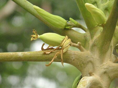 papaya flower: papaya on the plant Stock Photo