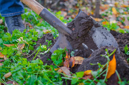A close-up shot of a covered in a dirt shovel while digging up a garden bed in autumn with some orange fallen leaves scattered around.