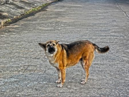 perro furioso: Angry Dog En Tailandia Foto de archivo