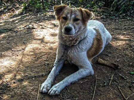 Thai Dog in Countryside, Loei provice, Thailand photo