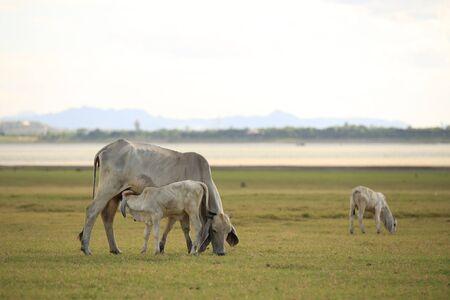 breast milk: A calf suckling breast milk from mother.