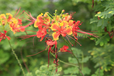 Fabaceae: Closeup of Gulmohar flowers, Flam-boyant, The Flame Tree or Royal Poinciana