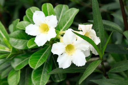 adenium: White Adenium bloomingAdenium obesum Stock Photo