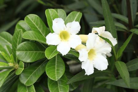 obesum: White Adenium bloomingAdenium obesum Stock Photo