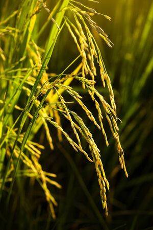 Close up of yellow green paddy rice in field waiting for harvest.