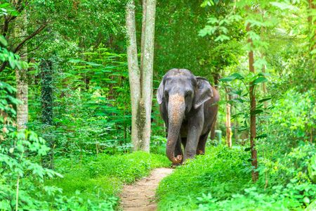 Asian Elephant In the wild, Thailand.