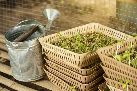 Watering can  with bean sprouts.