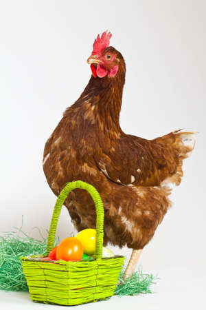 pullet: A Hen with a basket full of eggs in a studio