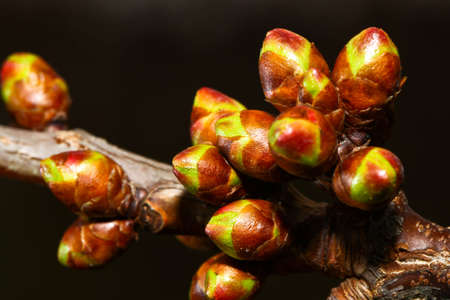 Some Cherry Buds are growing fast in early spring Imagens