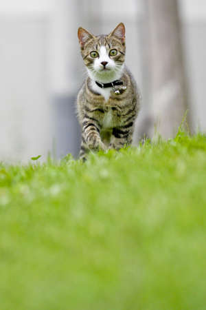 A Cat is running towards the Camera