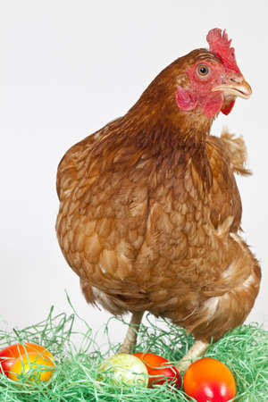 Pictured in Studio with white Background. Colorful Egg with lonely Hen.