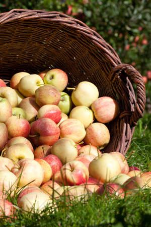 Some Apples in a Basket lying outdoors in front of some Apple Trees in Autumn