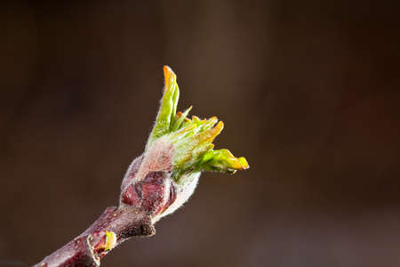 A Apple Bud is growing in early spring. Imagens