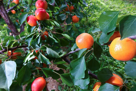 Fresh Apricots just before picking on a tree