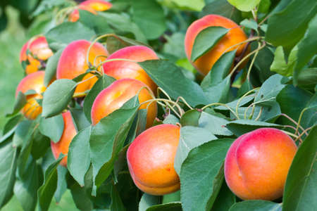 Some Apricots on a Tree, they are ready to pick! Imagens