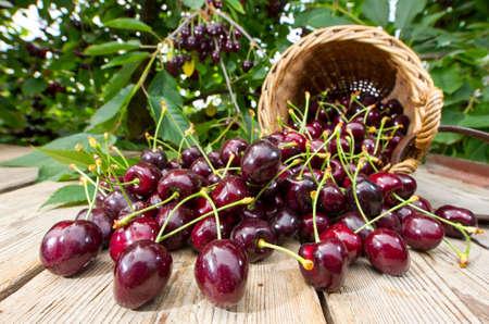 A Buch of freshly picked Cherries in a Harvesting-Basket