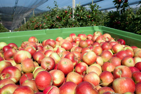big apple: Freshly harvested Apples, Apple Trees in the Background
