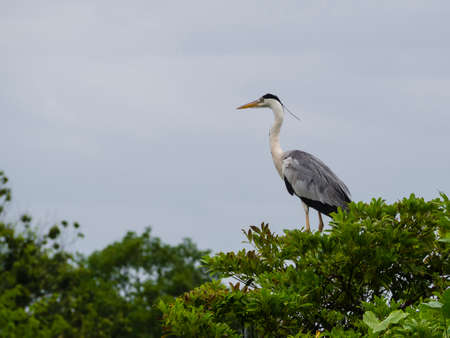Grey heron standing on a tree with the neck extended Reklamní fotografie