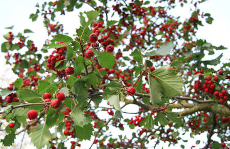 guelder rose berry: The branch of viburnum guelder rose