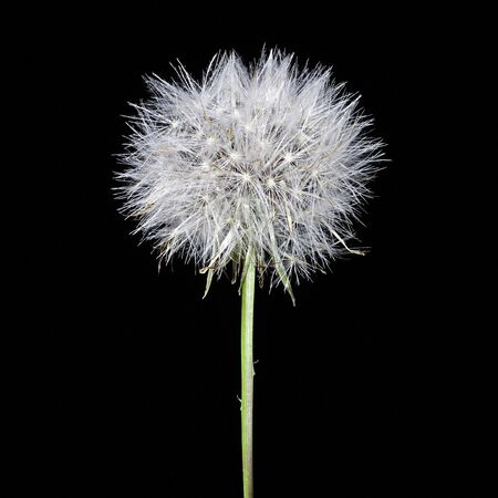 Dandelion against black background photo